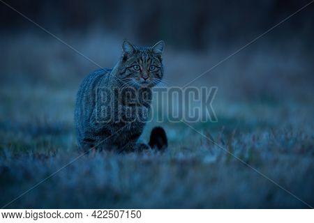 European Wildcat Sitting On Grassland At Night From Front