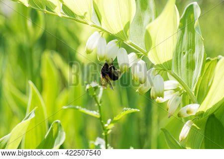 Flowering Plant Of Polygonatum Multiflorum Against Blurred Background. Also Known As Solomon's Seal,