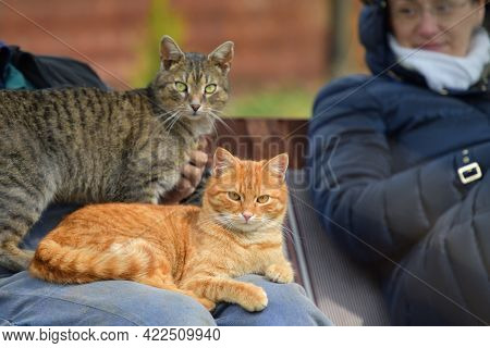 Domestic Cats To Snuggle The Humans And Sleep On Their Knees