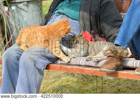 Two Domestic Cats Are Playing On Human Knees Huddling To Them