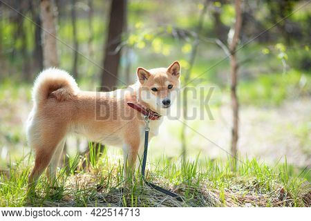 Adorable Red Dog Shiba Inu Dog Stands In The Woods On A Sunny Summer Day. Front View