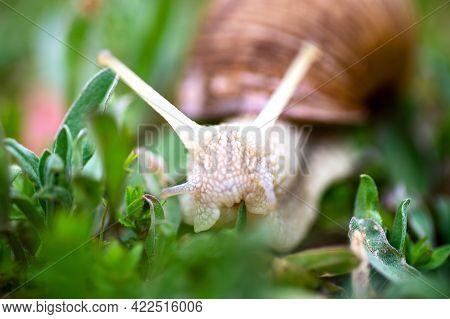 Garden, Grape Snail Eats Grass (cepaea Hortensis, Helix Pomatia, Burgundy Snail, Edible Snail), Snai