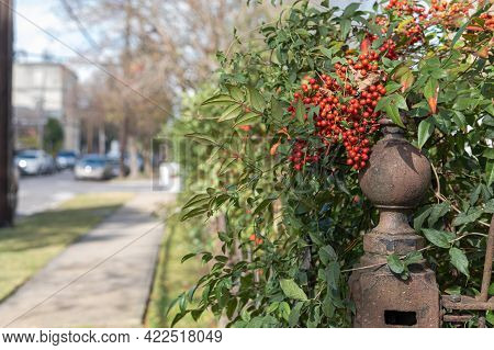 Nandina Plant With Berries On Heavy Steel Fence Post