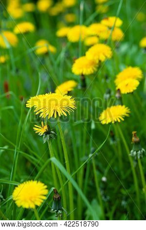 Yellow Dandelions On A Background Of Green Grass. Lawn Of Golden Dandelions Background. Blooming Wil