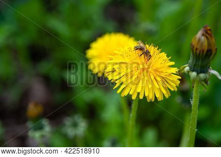 Yellow Dandelions On A Background Of Green Grass. Bee Sits On A Young Dandelion. Blooming Wild Flowe