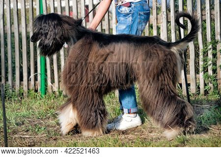 An Afghan Hound Posing At A Dog Show In Summer.