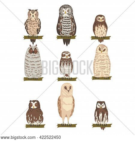 Different Specie Of Owl As Nocturnal Bird Of Prey With Hawk-like Beak And Forward-facing Eyes Perchi