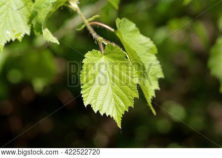 Leaves Of A Turkish Hazel, Corylus Colurna