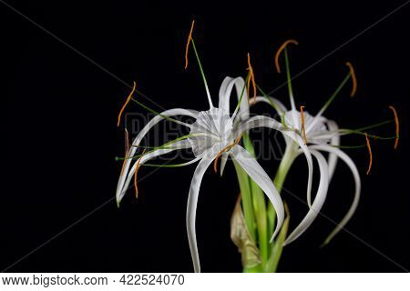 Flower Of The Spider Lily Hymenocallis Harrisiana