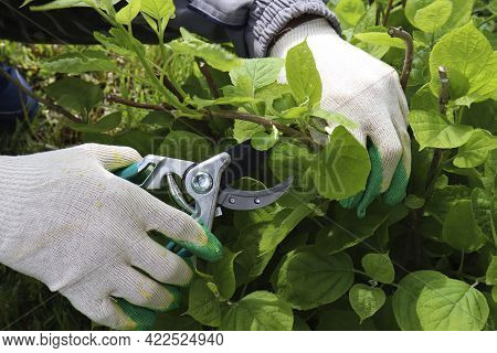 Gardener Cutting A Hedge Hydrangea With A Garden Pruner, Close Uppruning Bushes. Pruning A Hydrangea