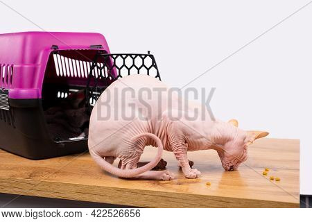 Domestic Sphinx Cat Eats Dry Nutritious Food In Granules. Cat Eating Dry Nutritious Food In Granules
