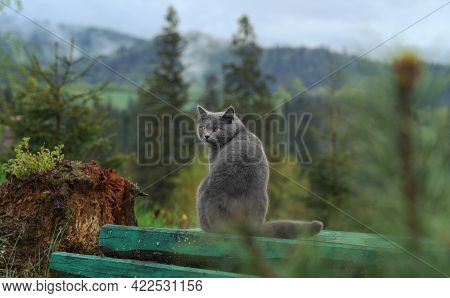 Gray British Cat Standing On Table Outdoor And Looking At Mountains