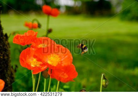 Orange Siberian Poppy Flowers In Swedish Garden