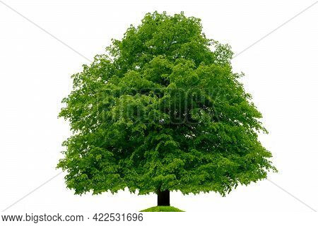 Single Big Linden Beech Tree Isolated On A White Background. High Details Image.