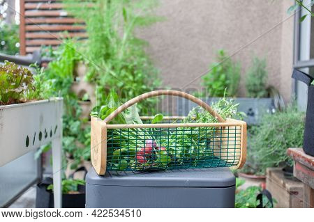 A Large Garden Hod (basket) Sits With Freshly Picked Beets And Lettuce Greens (arugula) From A Patio