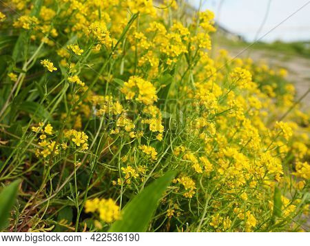 Yellow Field Rapeseed In Bloom. Rape Or Colza Brassica Napus Is A Species Of Herbaceous Plants Of Th