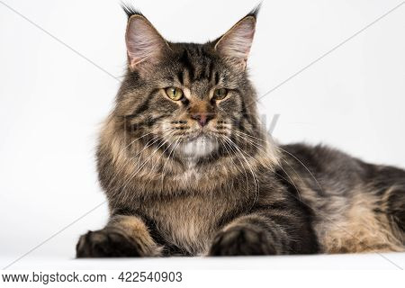 Lovely Fluffy American Longhair Cat. Portrait Of Mackerel Tabby Male Maine Coon Cat Looking At Camer