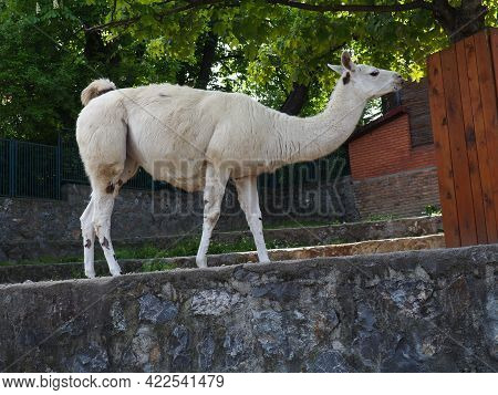 The Lama. Lama Lama Glama Is A South American Mammal From The Camelid Family, Domesticated By The An