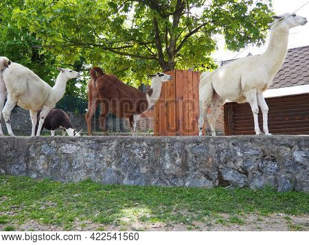 The Lama In The Zoo. Lama Lama Glama Is A South American Mammal From The Camelid Family, Domesticate