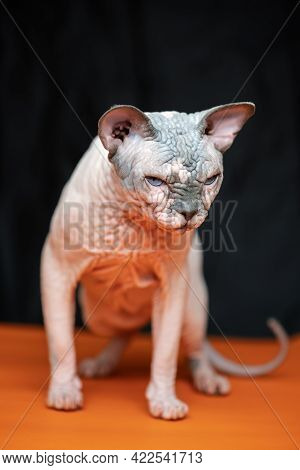 Full Length Portrait Of Canadian Sphynx - Breed Of Cat Known For Its Lack Of Fur. Beautiful Male Cat