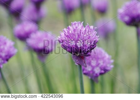 A Close Up Of Purple Chive Flowers In A Garden In North Idaho.