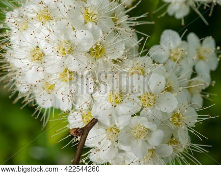 Close-up Of White Crataegus Monogyna Flowers Also Known As Common Hawthorn Or Single-seeded Hawthorn