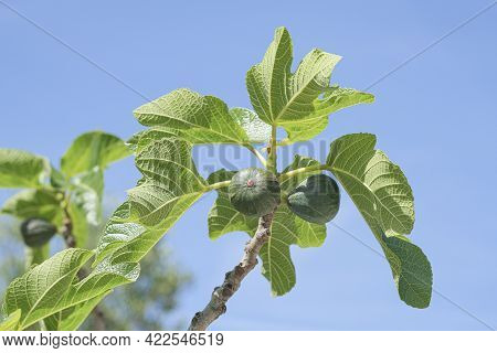 Delicious Green Italian Figs Plant Ripe Branch, Fico Bianco Of Cilento, Healthy Fruit Ingredient