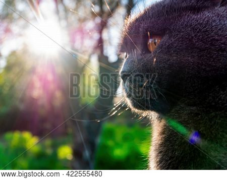 The Head Of A Gray Fold Cat With Orange Eyes In The Sun Rays. Scottish Fold Cat. British Breed Of Ki