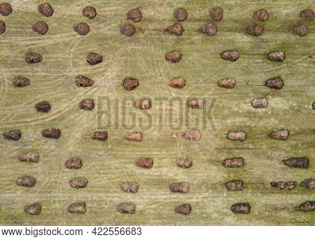 Manure Heaps In A Large Farm Field Lie In Even Rows. Application Of Organic Fertilizers In Spring An