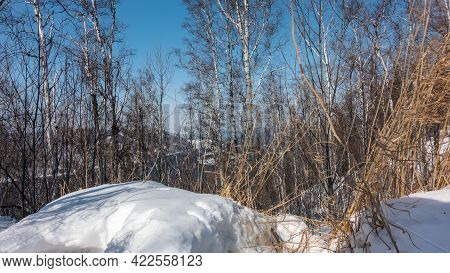 Birch Grove In Winter. White Trunks And Bare Branches Against The Azure Sky And Blue River. Snowdrif