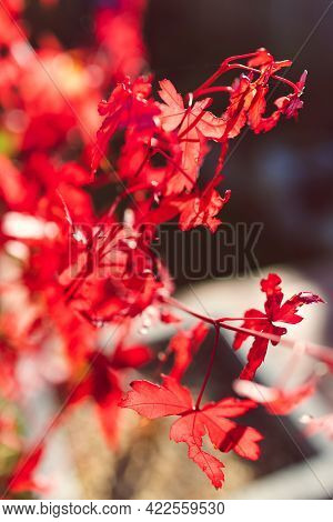 Close-up Of Red Japanese Maple Plant Outdoor In Sunny Backyard Shining In The Sunshine