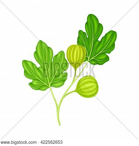 Branch With Hanging Unripe Common Fig Or Ficus Plant Syconium Fruit Vector Illustration