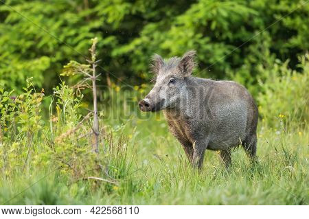 Wild Boar Sniffing With Its Snout On A Green Meadow With Green Grass