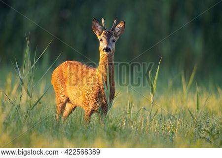 Roe Deer Buck Looking On A Green Meadow Illuminated By A Warm Light At Sunrise
