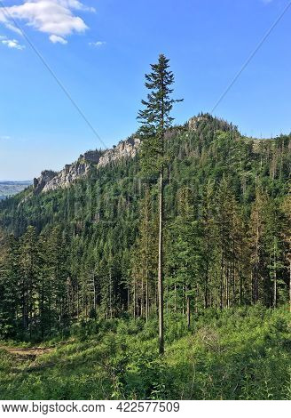 Tall Spruce Grows In The Coniferous Forest In The Mountains. View Of Mount Nosal, Tatra Mountains, P