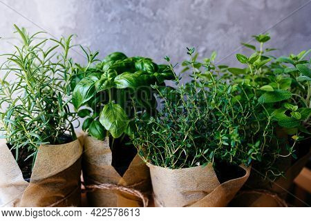 Assorted Fresh Herbs Growing In Pots, Outdoors In The Garden In A Close Up View On Leafy Green Basil