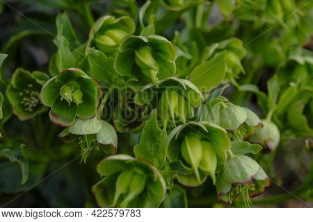 Selective Focus On Wild Toxic Hellebore Across Forest Ground Close-up. Wildflower Plant