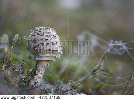 Mushroom Umbrella Grows In The Grass. Macrolepiota Procera. Mushroom In Autumn Forest And Dry Leaves