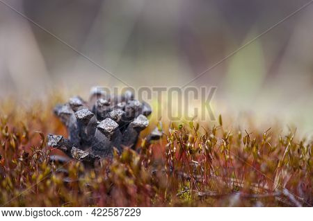 Pine Cone With Christmas Tree On Autumn Moss. Pine Cone On The Dry Grass. Autumn Background. Macro N