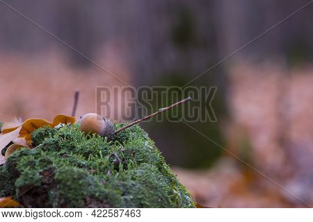 Acorn Lies On Green Moss In The Forest. Natural Background, Autumn Forest Or Park. Green Moss On An