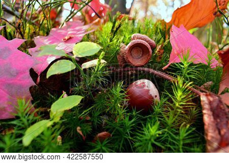 Acorn In Autumn Leaves And Green Moss. The Acorn Lies On Green Moss In Dry Leaves In The Autumn Fore