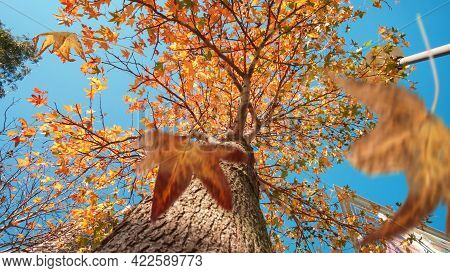 Autumn Scene, The Falling Yellow And Orange Leaves Of A Plane Tree, Selective Focus