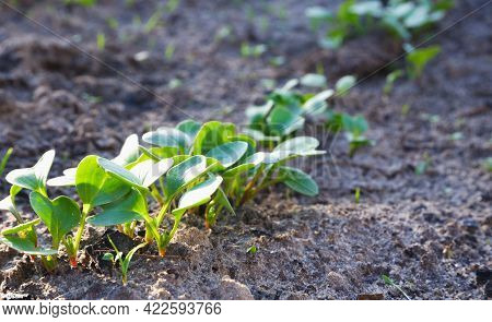 Radish Shoots In The Beds In The Sunset. Green Radish Leaves Sprouted From The Ground.