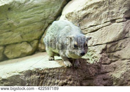Bruce's Daman (latin: Heterohyrax Bruceii) Is A Gray Animal Sitting On A Rock. Wildlife Fauna Mammal