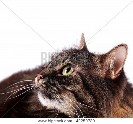 Portrait of a lying fluffy cat on a white background. Beautiful eyes of a cat. poster