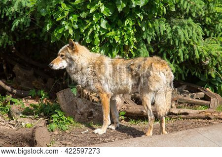 The European Wolf (lat. Canis Lupus) Stands On The Ground And Looks Into The Bushes Against The Back