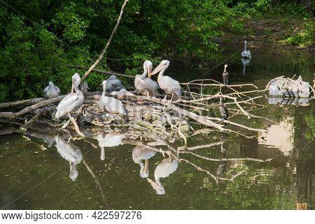 Pink Pelicans (lat. Pelecanus Onocrotalus) And Large Cormorants (latin: Phalacrocorax Carbo) Sit On