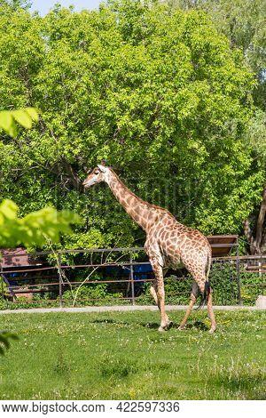 The South African Giraffe (latin: Giraffa Camelopardalis Giraffa) Is A Beautiful Orange Color Standi