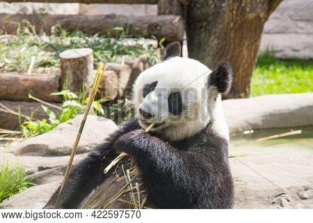A Large Panda (latin: Ailuropoda Melanoleuca) With Black And White Coat Color Sits And Eats Young Th