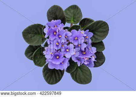Blue Violet Saintpaulia Flower On Blue Background. African Saintpaulia Houseplant. Top View.